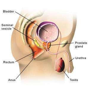 Diagram showing the position of the prostate